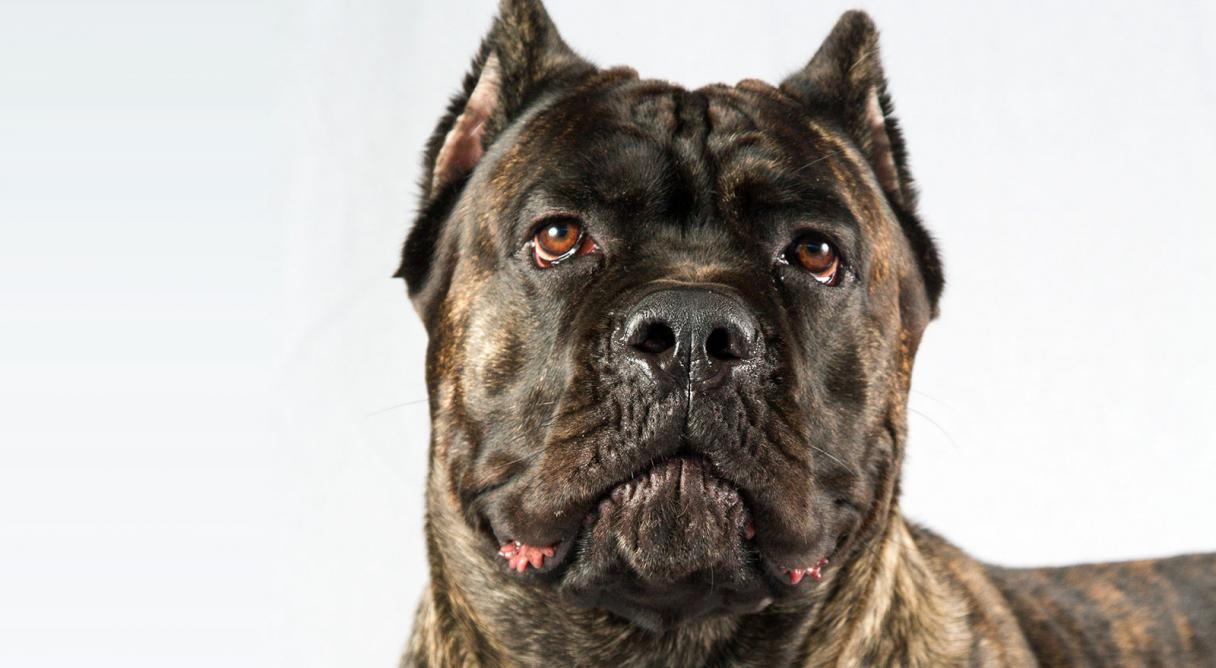 cane corso dog breed information american kennel club