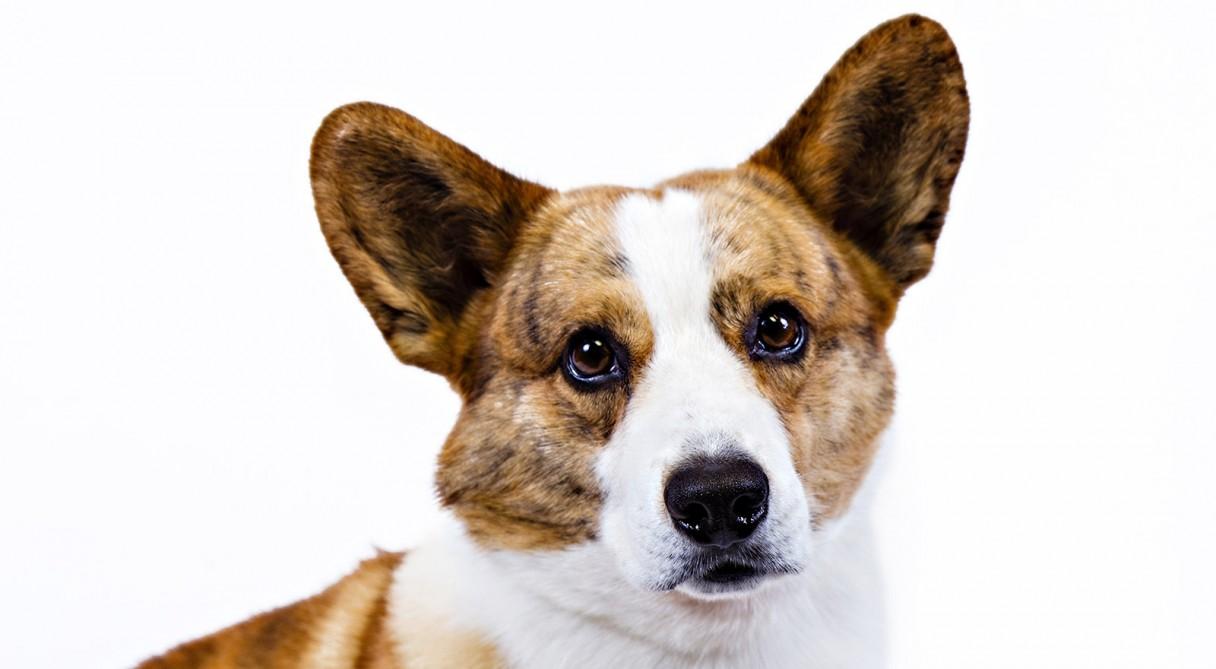 cardigan welsh corgi dog breed information american kennel club