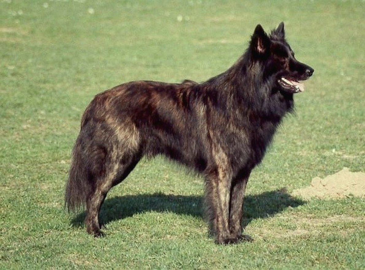 Full Breed Coucasian Sheperd Dog