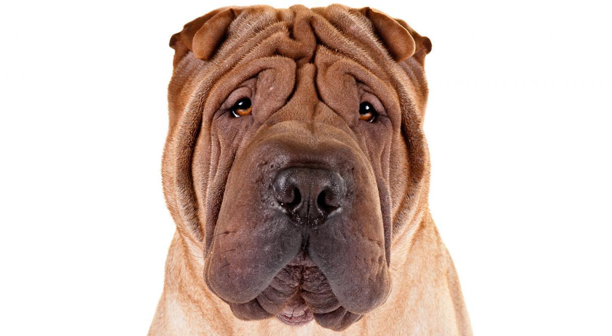 chinese shar pei dog breed information   american kennel club