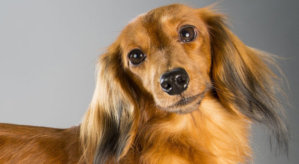 Pics photos dachshund chihuahua dog mix dogs pictures photos pics - Pics Photos Dachshund Chihuahua Dog Mix Dogs Pictures Photos Pics 88