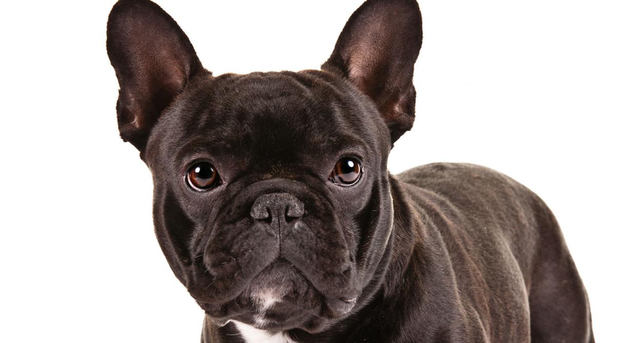 NO.1# FRENCH BULLDOG DOG BREED INFORMATION GUIDE
