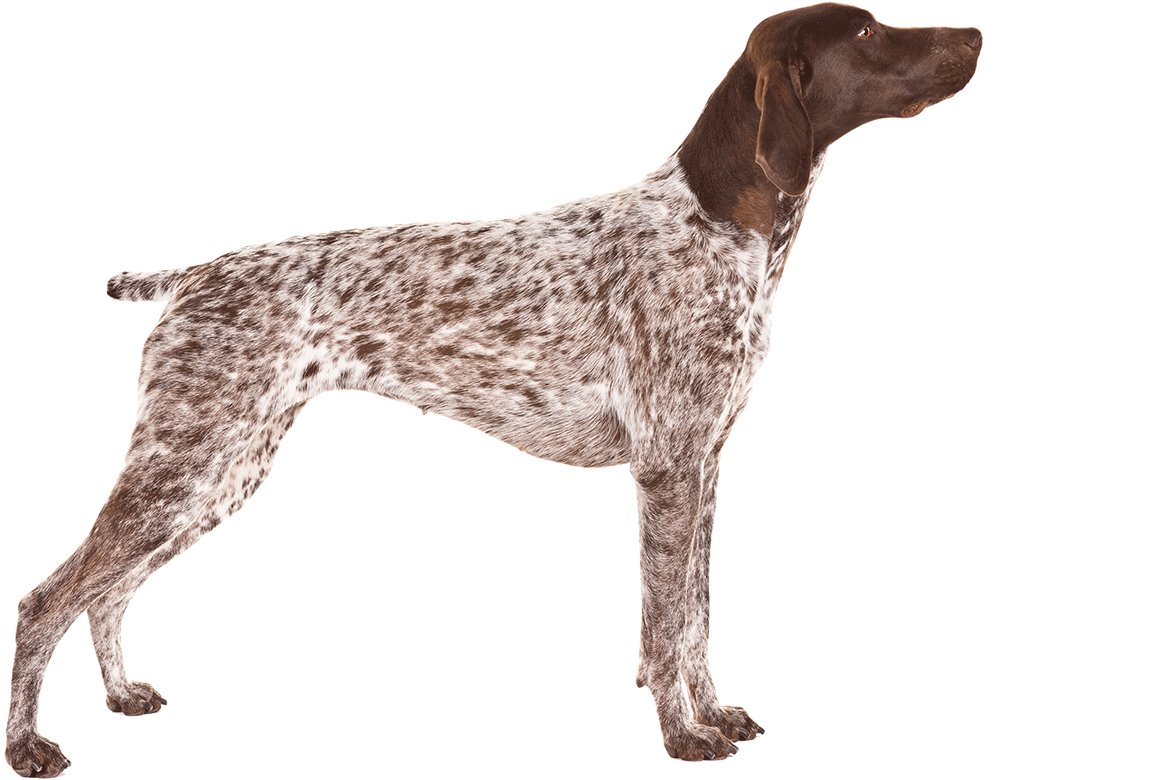 german short haired pointer - photo #26
