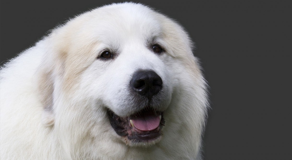 great pyrenees dog breed information american kennel club