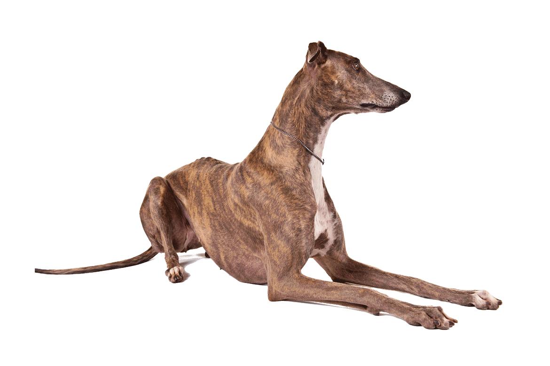 Грейхаунд, или большая английская борзая - Страница 16 Greyhound_cutout_1