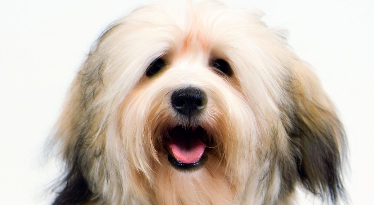 Havanese Dog Breed Information American Kennel Club