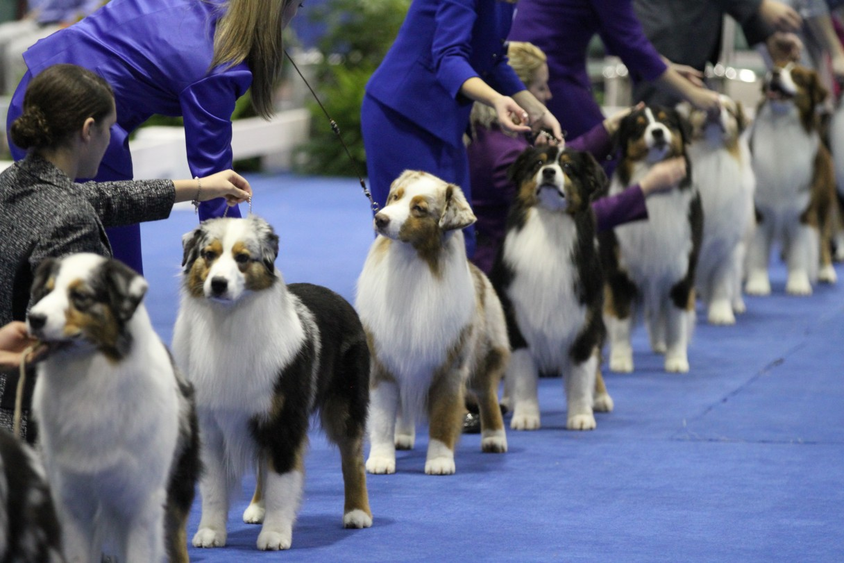 Conformation Dog Shows - American Kennel Club