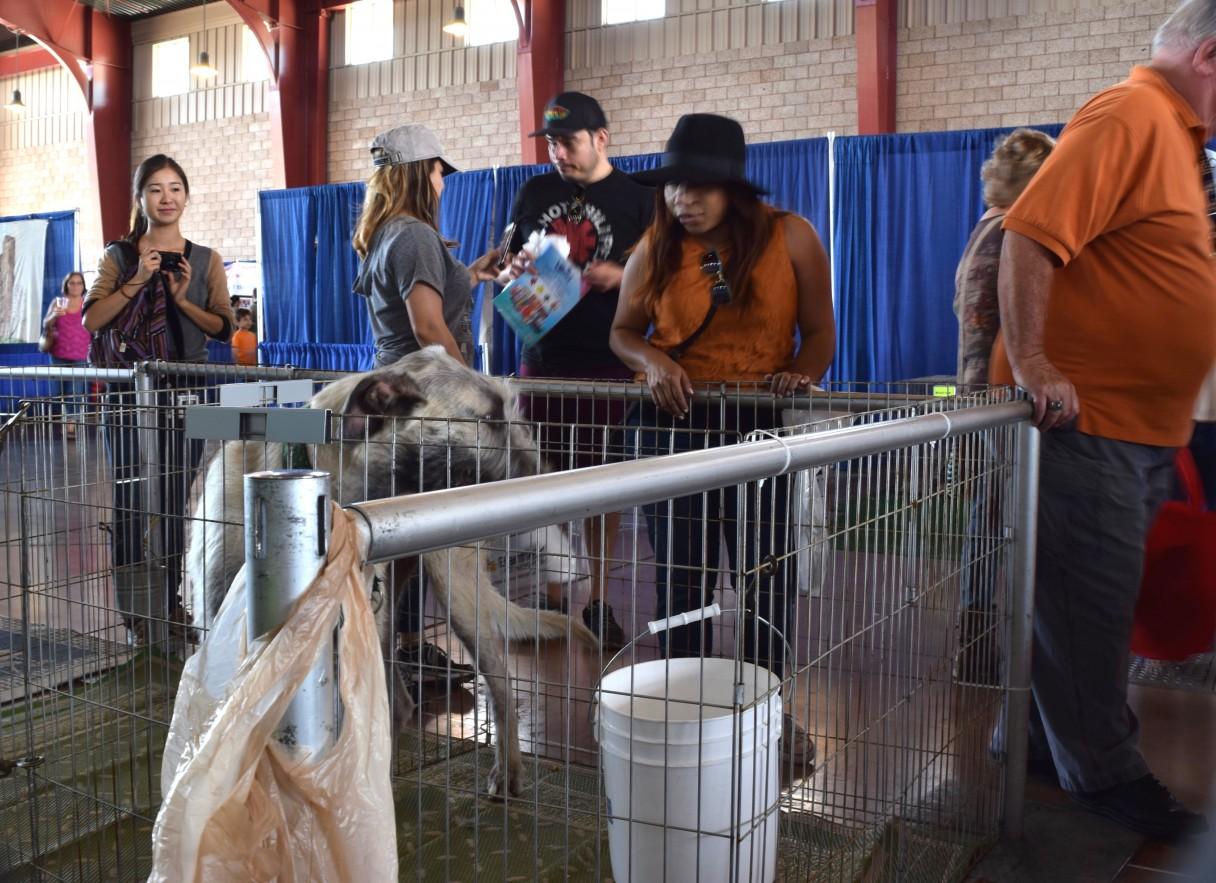 Crowds meeting Irish Wolfhound