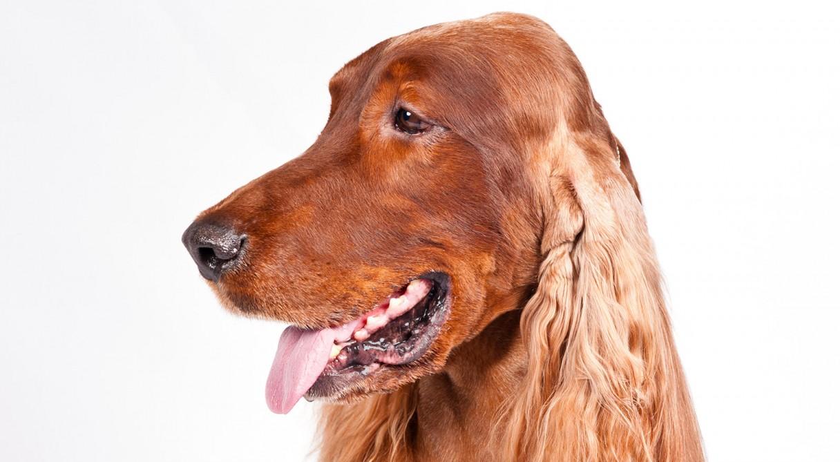 Dog Breeds Irish Setter