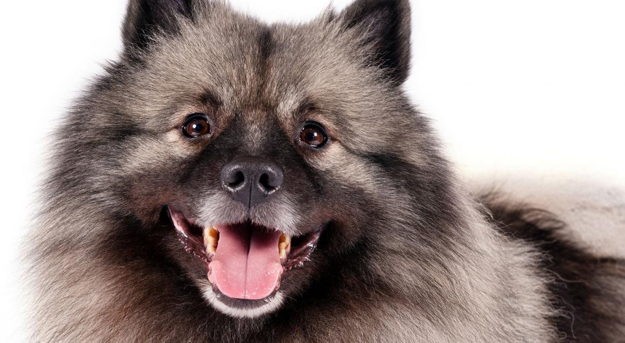 Keeshond Dog Breed Information American Kennel Club