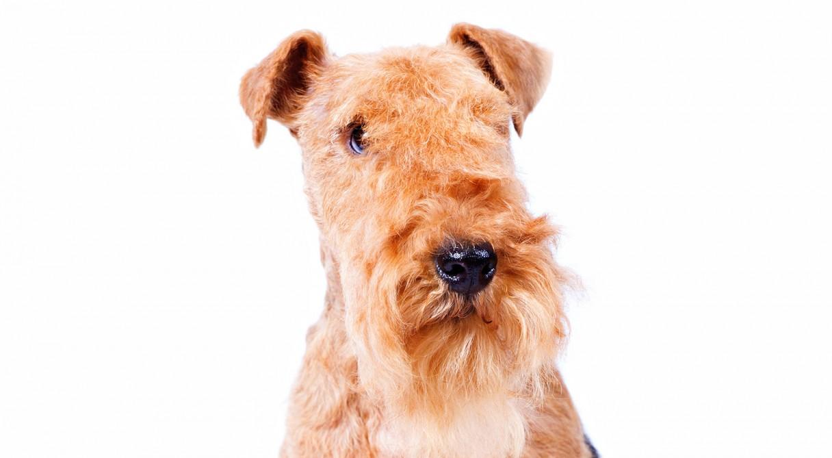 Lakeland Terrier Dog Breed Information - American Kennel Club