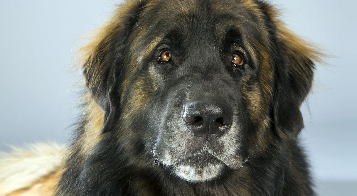 Leonberger Dog Breed Information - American Kennel Club