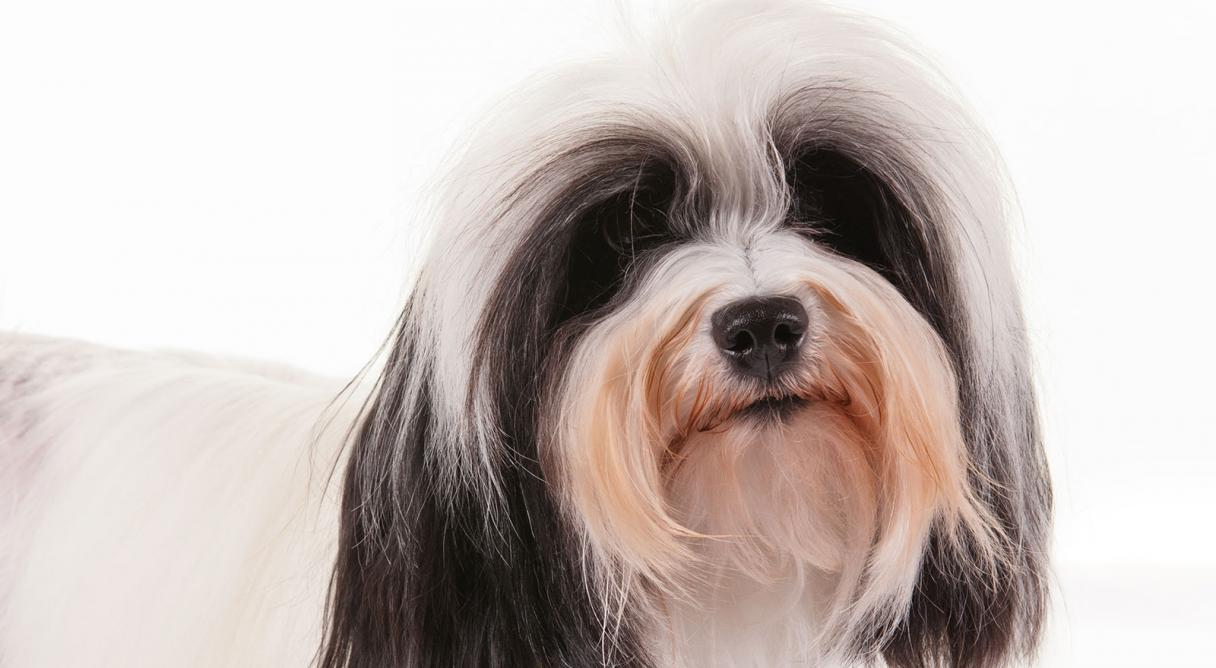 Lowchen Dog Breed Information, Pictures, Characteristics & Facts ...