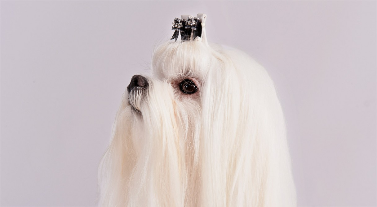 Maltese dog breed information american kennel club nvjuhfo Choice Image