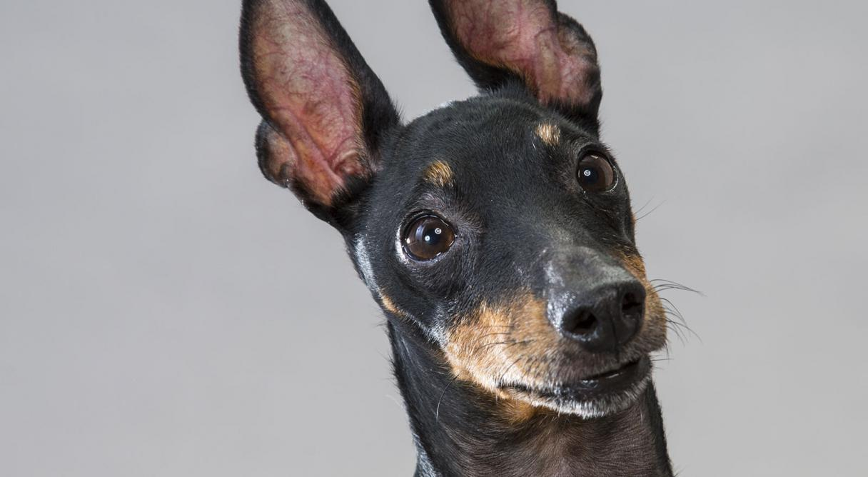 manchester toy terrier - photo #31