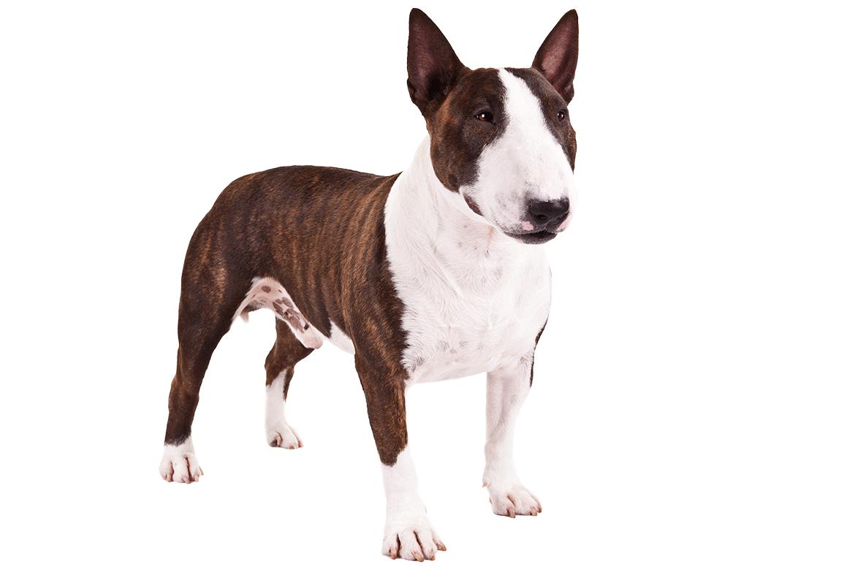 Bull Terrier Uses A Miniature Bull Terrier