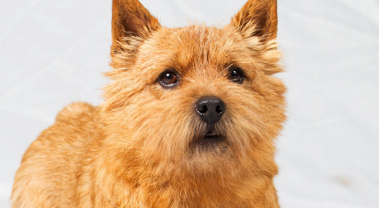 Norwich terrier digging