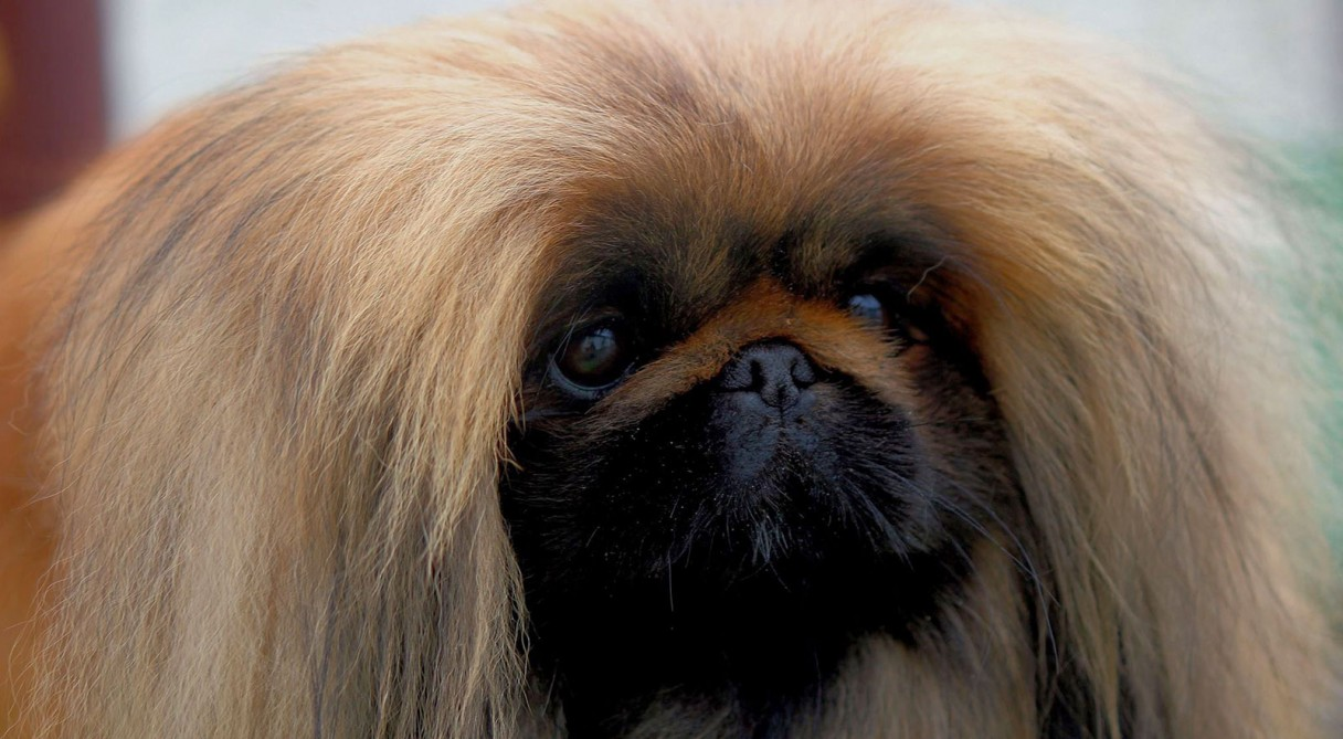 Pekingese Dog Breed Information - American Kennel Club