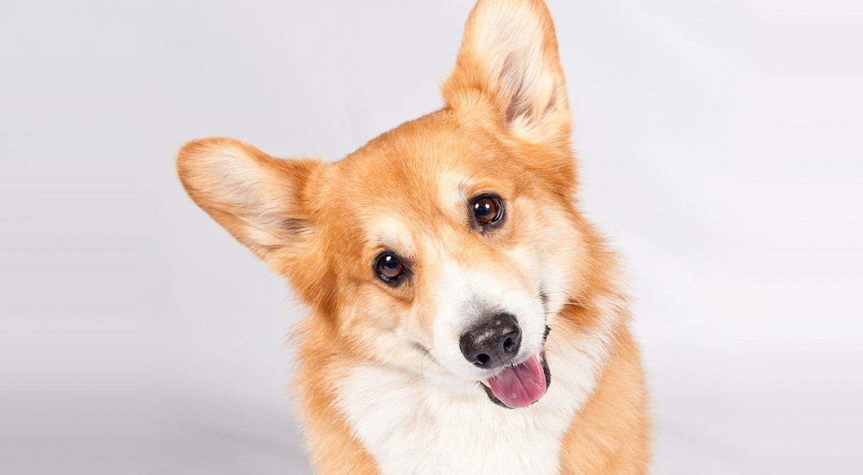 Pembroke Welsh Corgi Dog Breed Information American