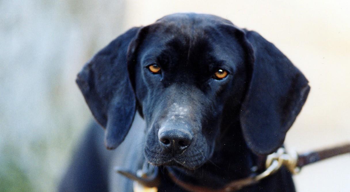 Plott Dog Breed Inform...