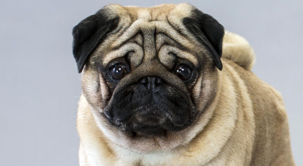 cães - PUG