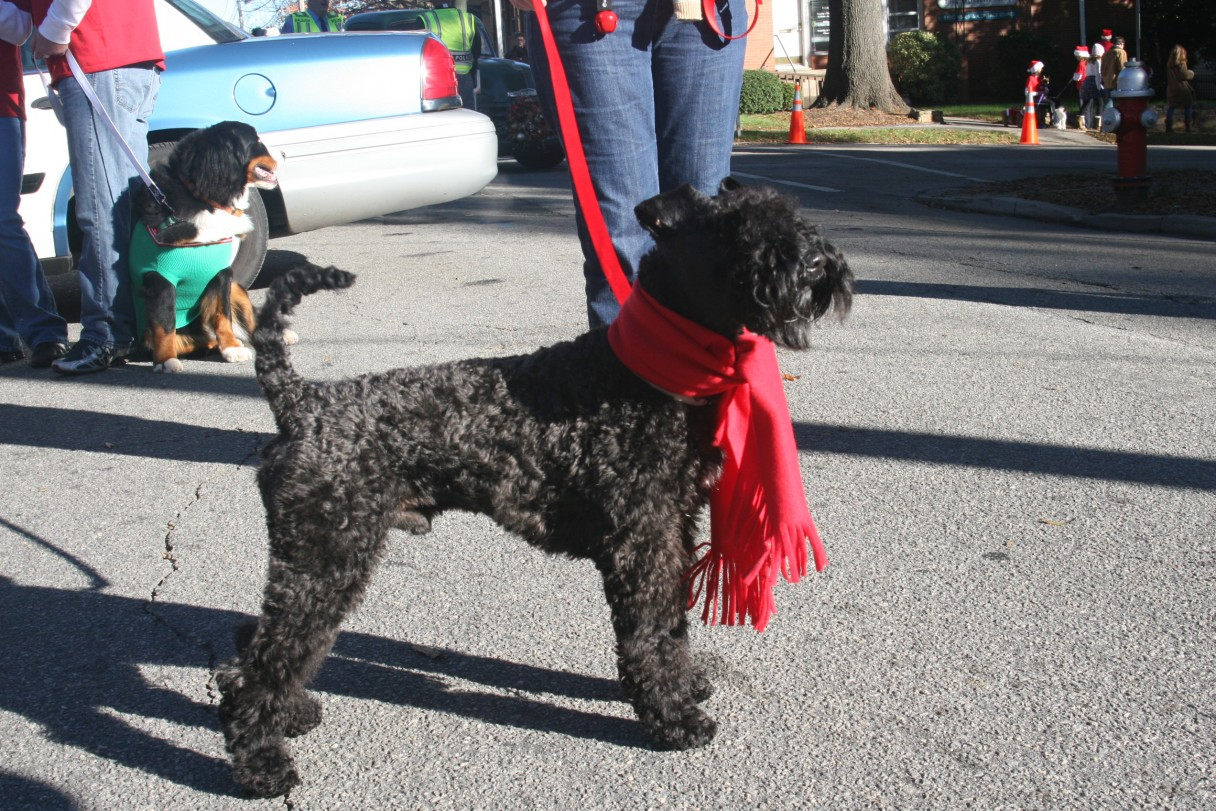 Kerry Blue Terrier at the Christmas Parade