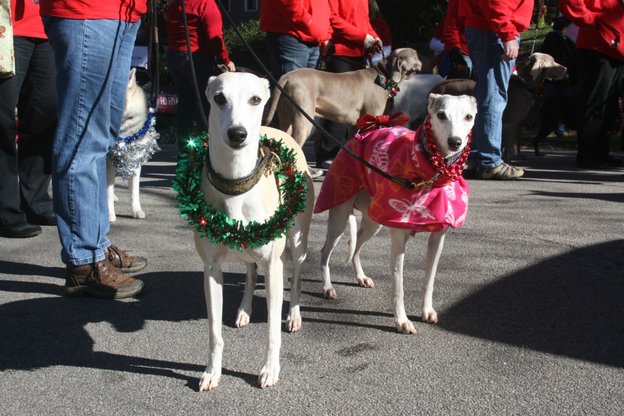 Whippets at the Christmas Parade