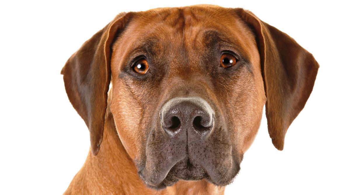 Dog Breeds Rhodesian Ridgeback