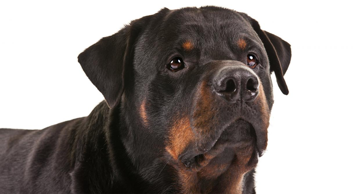 What was rottweiler bred for