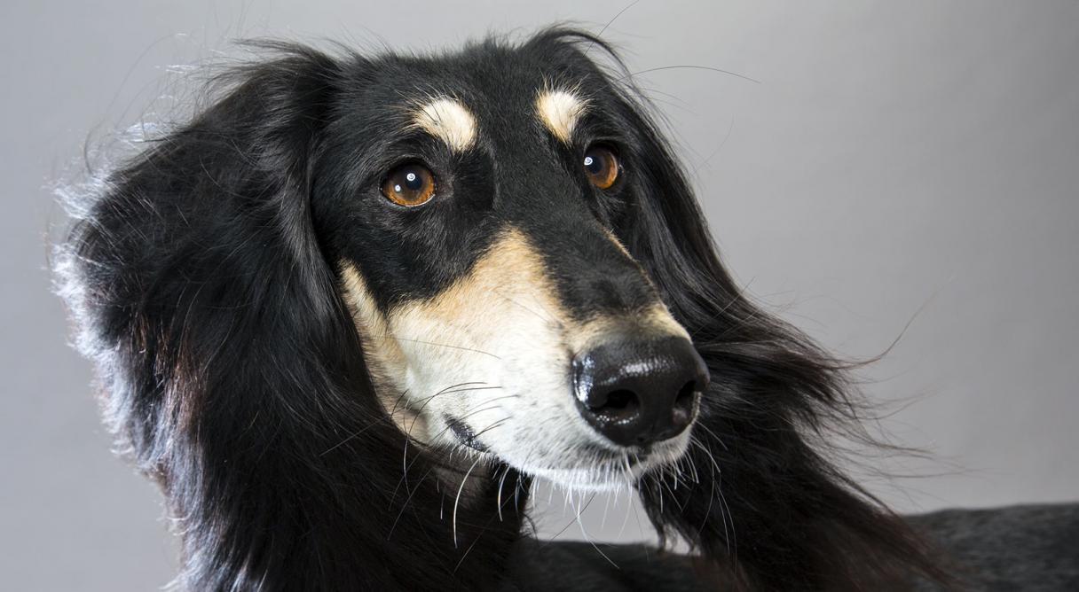 Saluki dog breed information american kennel club