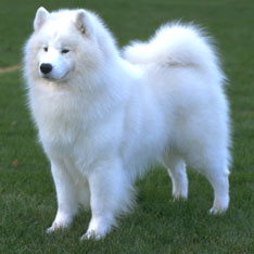 Samoyed Puppies For Sale Akc Puppy Finder
