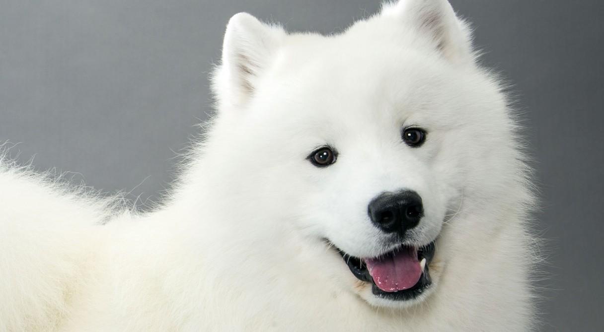 Dog Breed Info Samoyed