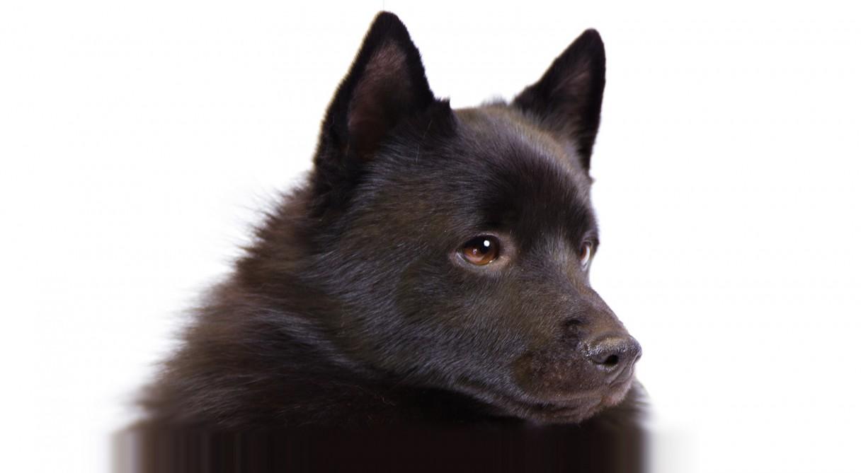 Dog Breeds Schipperke