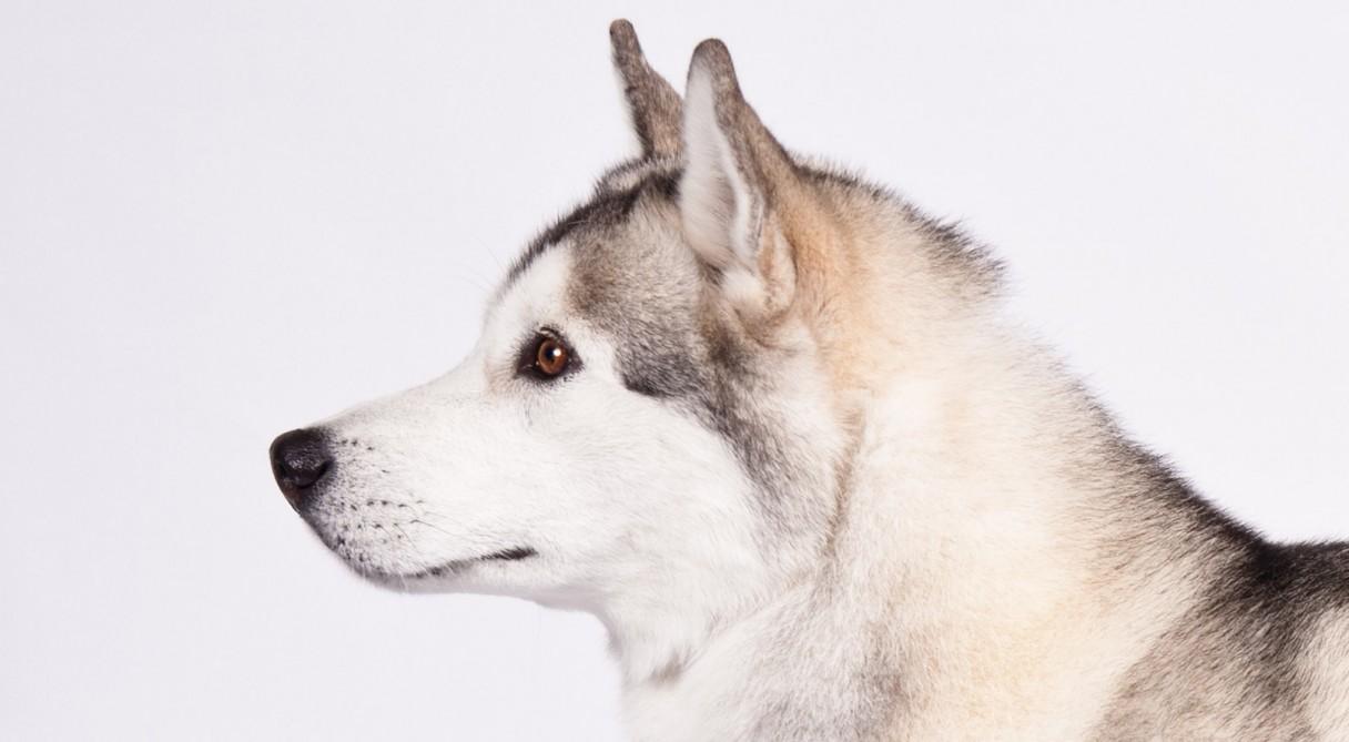 Siberian Husky Health & Care Information