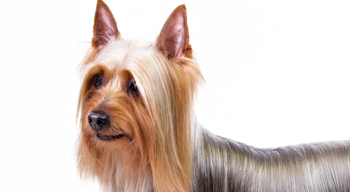 silky dog white. silky dog white