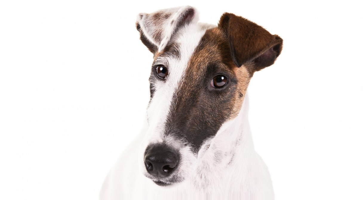 Smooth Fox Terrier Dog Breed Information - American Kennel ...