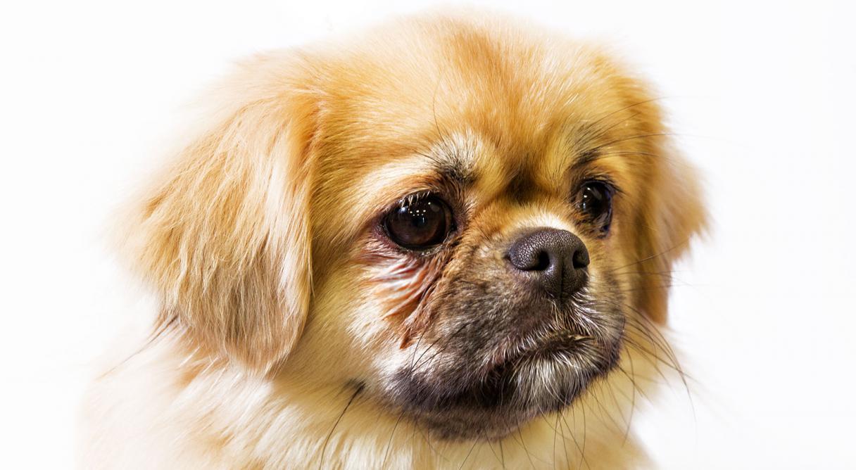 Tibetan Spaniel Dog Breed Information - American Kennel Club