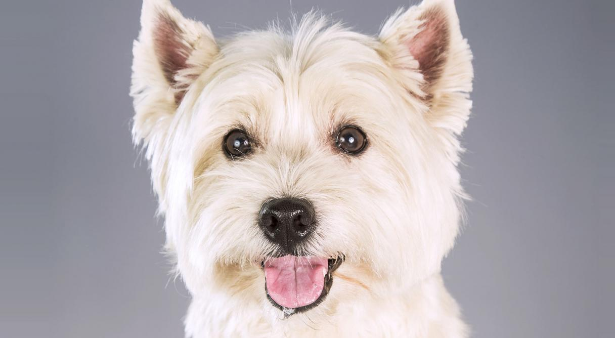 West highland white terrier westie dog breed information west highland white terrier westie dog breed information american kennel club nvjuhfo Choice Image