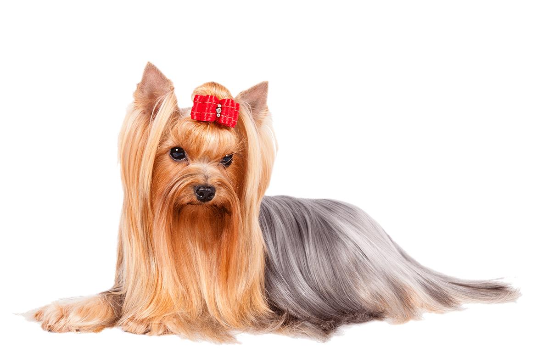 A Yorkshire Terrier Yorkie Terrier