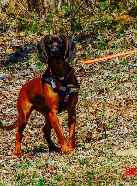 Bavarian Mountain Scent Hound American Kennel Club