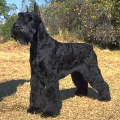 Giant Schnauzer Puppies For Sale - AKC Puppy Finder Bichon Frise Akc