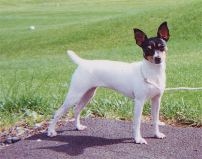 Toy Fox Terrier History Amp Training Temperament American