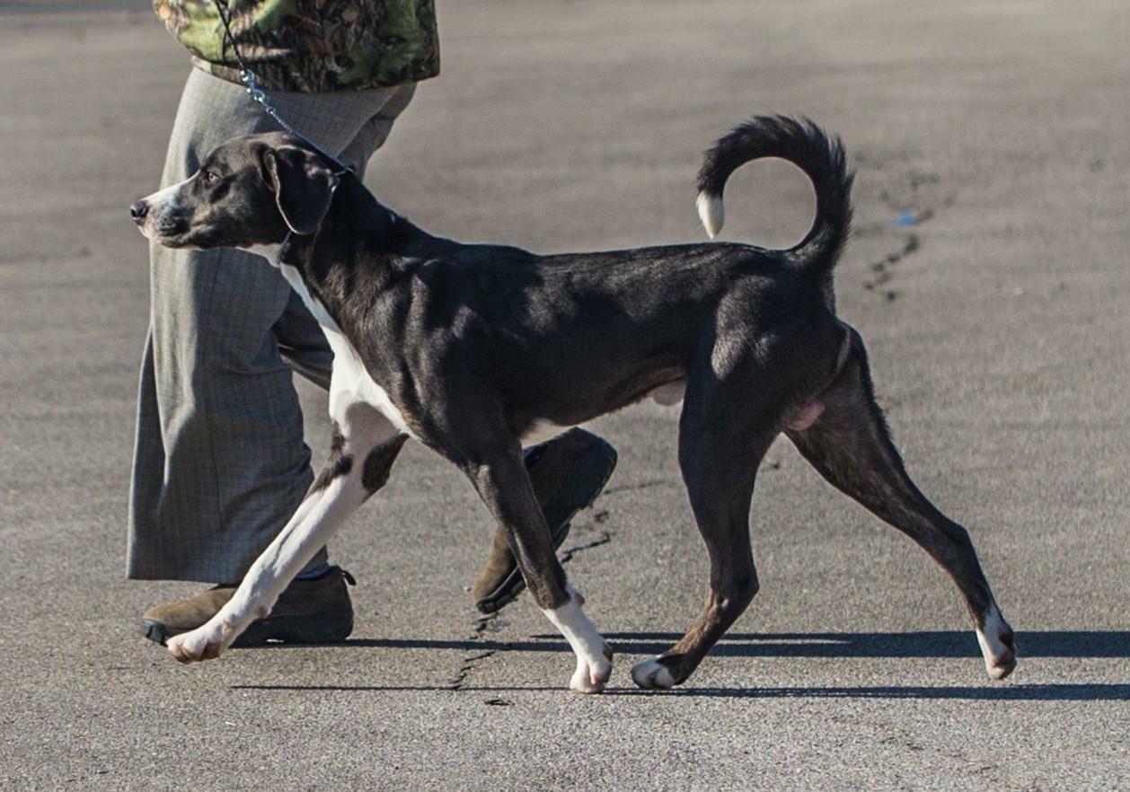 Mountain Cur American Kennel Club