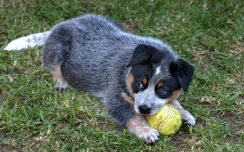 10 Ways To Hang Out With An Australian Cattle Dog – American