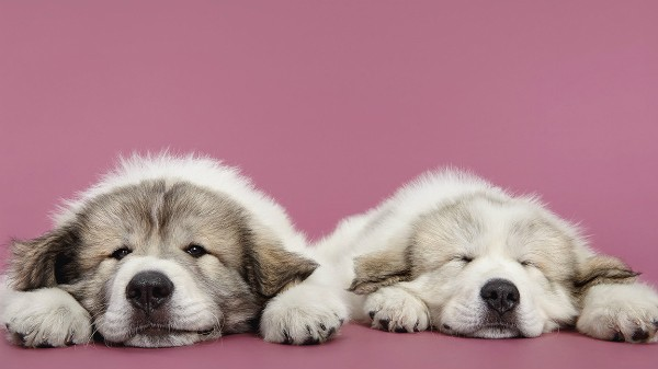 Between two dogs sleeping dogs