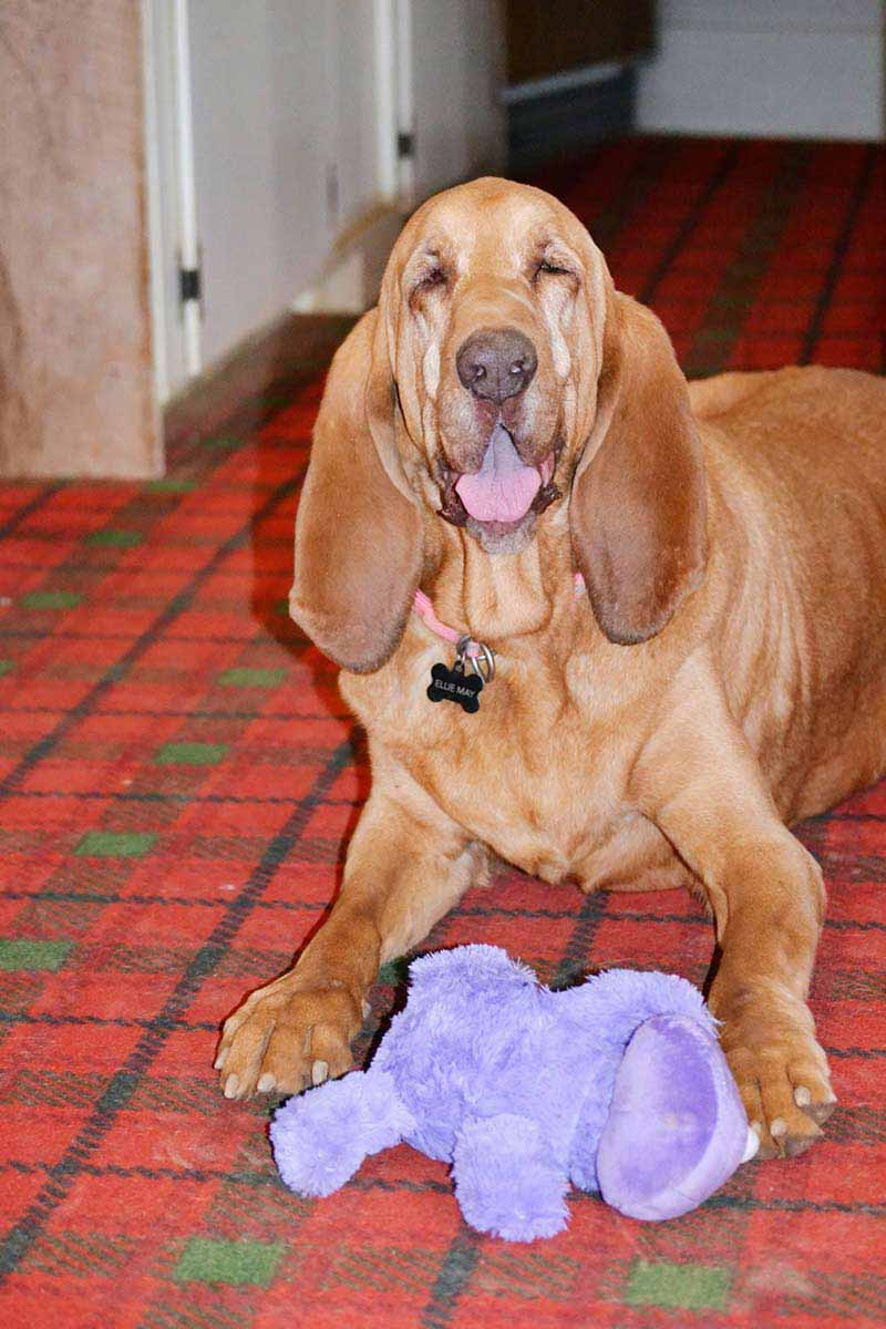 Bloodhound dog hair