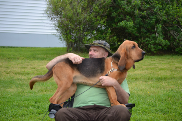 Bloodhound lap dog