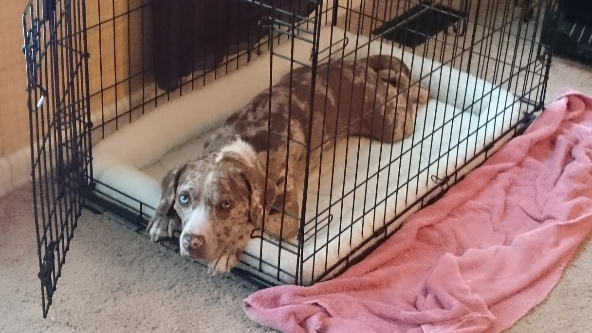Crates Are Forever Not Just For Puppies American Kennel Club