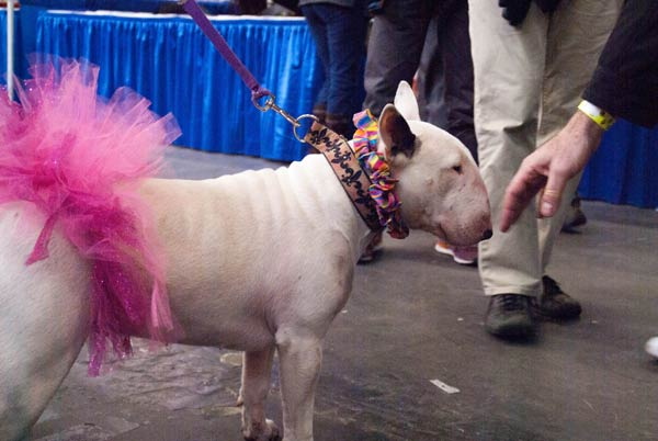 bull terrier meet the breeds 2