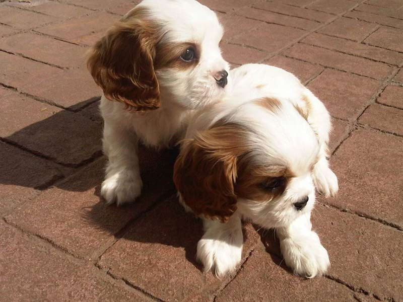 cav puppies two